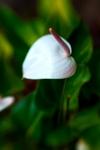 White Antherium